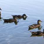 Five Ducks Swimming on Lake